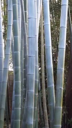 Bamboo_250w